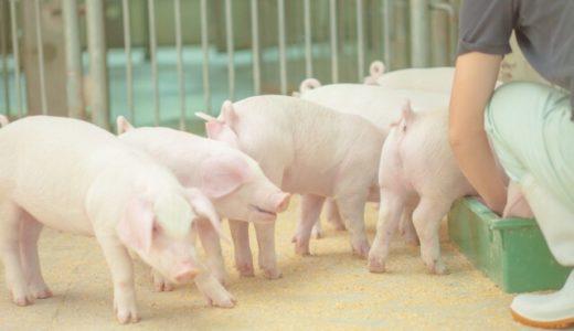 豚コレラで豚肉高騰いつまで!?発生状況や感染経路、人間への被害は!?